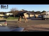 Два кенгуру дерутся на дороге / Copy of wild kangaroo street fight Aussie style