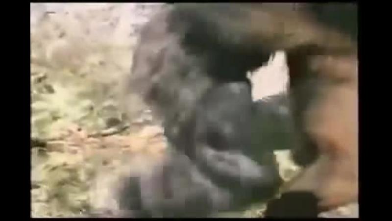 ������� ������ �������-Gorilla vs. Bear