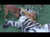 Тигр собаки и человек